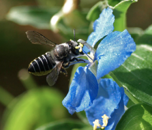 Gold-tipped leafcutter bee